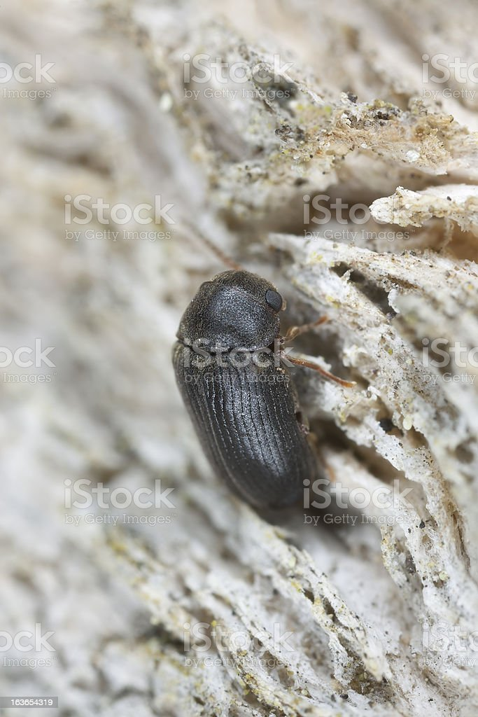 Xyletinus beetle on oak, extreme close-up royalty-free stock photo