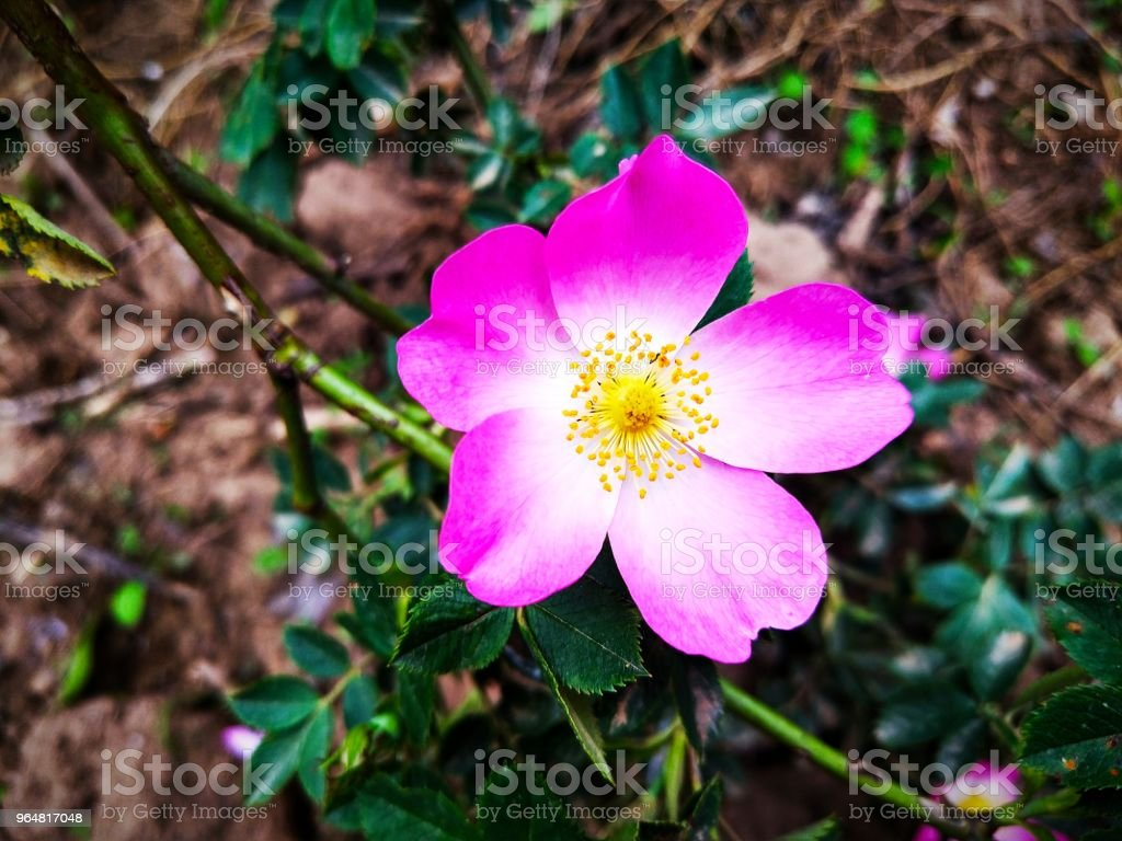 Yabangülü, Rosehip flower royalty-free stock photo