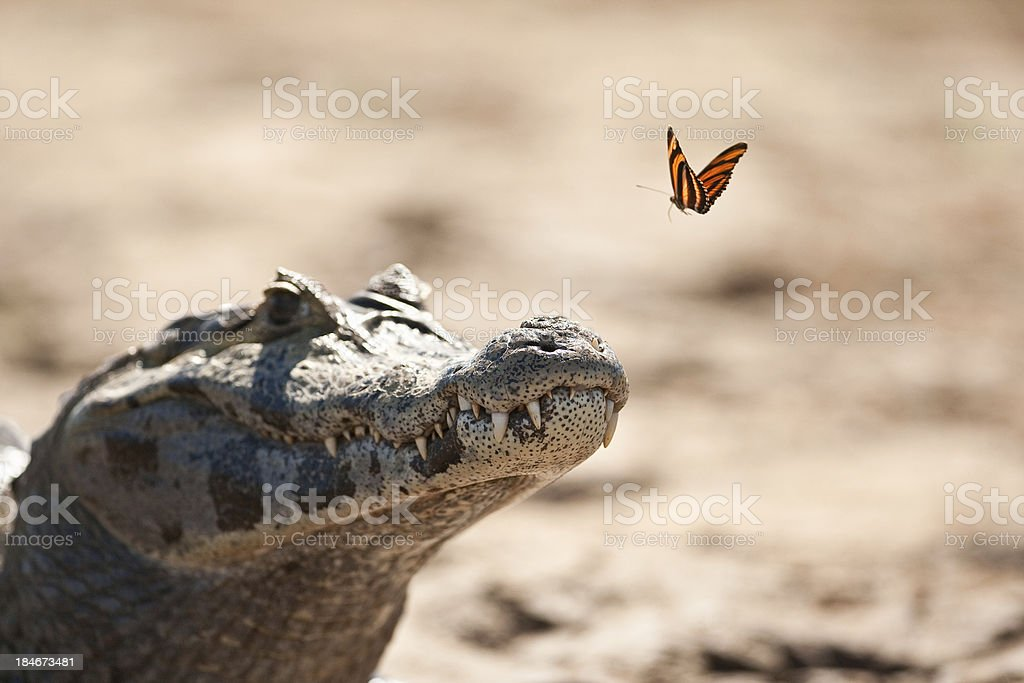 Yacare Caiman and Butterfly stock photo