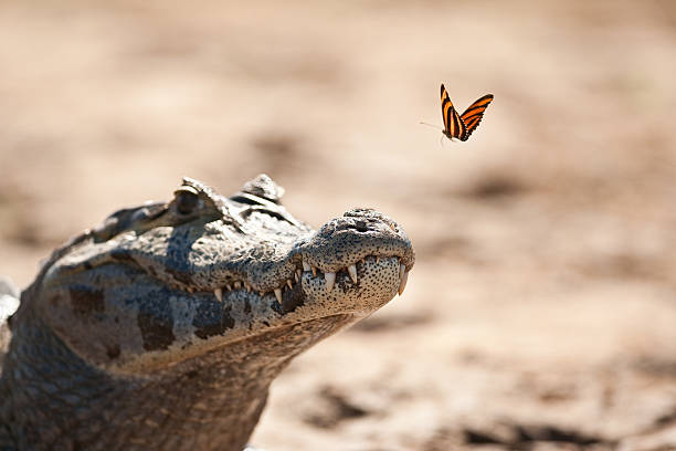 Yacare Caiman and Butterfly Yacare Caiman and a butterfly about to land on the end of it's nose, taken in the Pantanal, Brazil ambush stock pictures, royalty-free photos & images