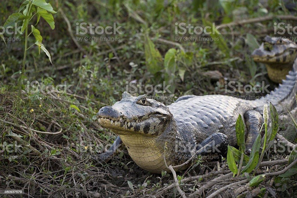 Yacare Caiman in the Brazil Pantanal stock photo