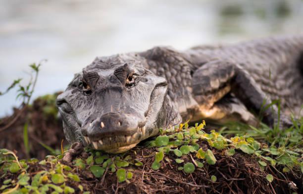yacare caiman stock photo