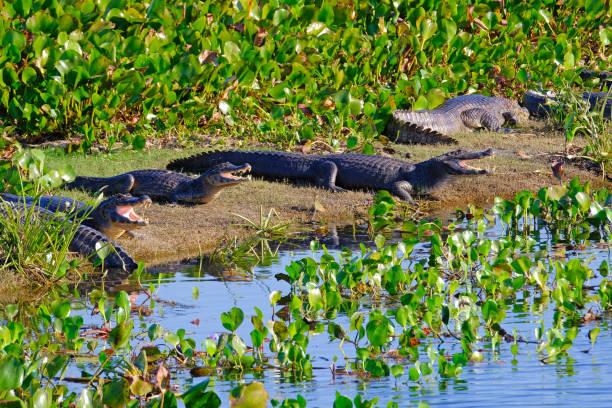 Yacare Caymans, Caiman Crocodilus Yacare Jacare, in the grassland of Pantanal wetland, Corumba, Mato Grosso Sul, Brazil stock photo