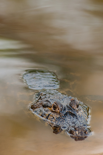 The yacare caiman or alligator-of-paraguay (Caiman yacare) is an alligator inhabiting the central part of South America, including northern Argentina , southern Bolivia and Midwest regions of Brazil, especially in the wetland and rivers Paraguay. In Spanish is called yacaré-black, in Portuguese: jacaré-do-pantanal