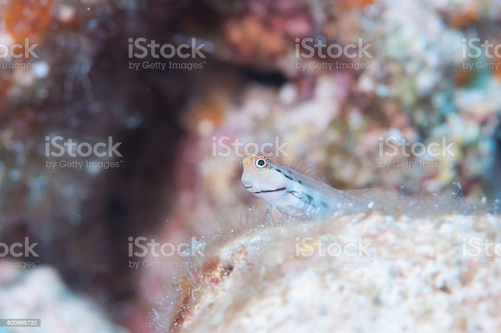Yaeyama Blenny stock photo