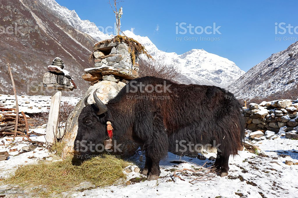 Yak and Kanchenjunga. Everest Circuit. Nepal motives royalty-free stock photo