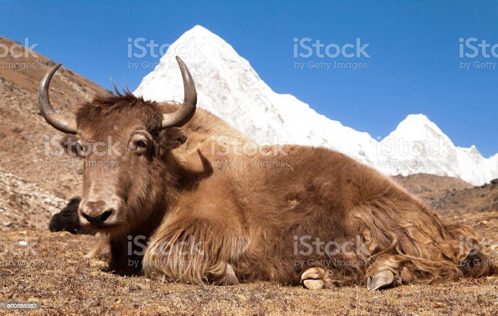 Yak and mount Pumo ri - Nepal stock photo
