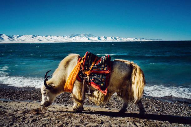 Yak at Nam Tso lake (Tibet) stock photo