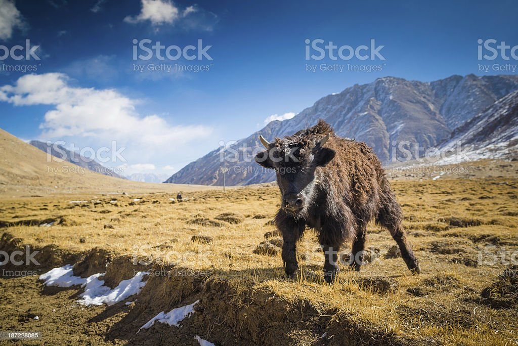 Yak at Nubra Valley Leh Ladahk India stock photo