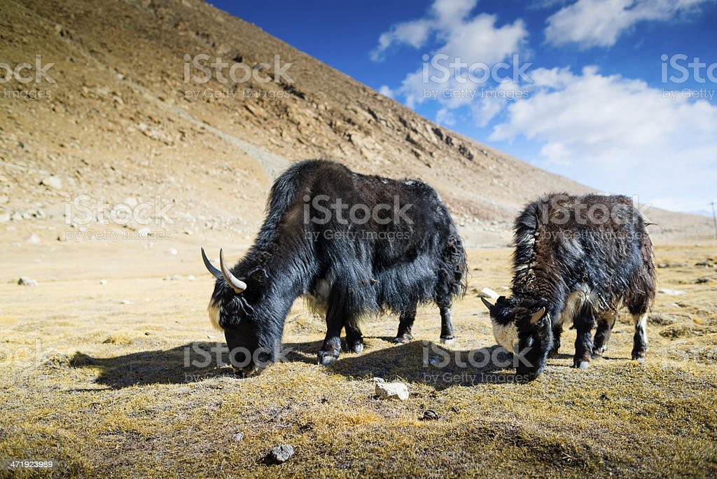 Yak at Nubra Valley Leh Ladahk India royalty-free stock photo