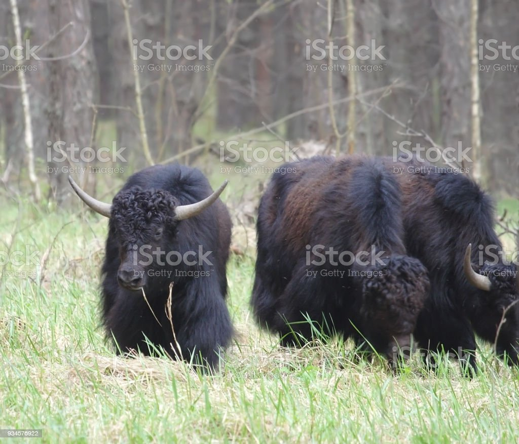 Yak at the forest. stock photo
