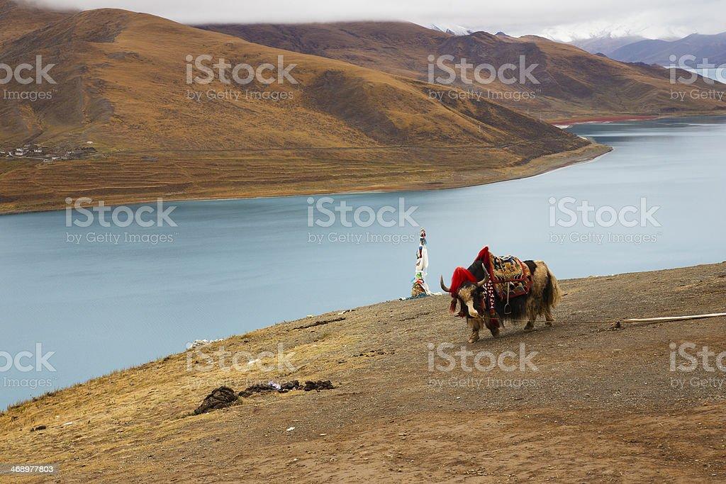 Yak at Yamdrok Lake stock photo