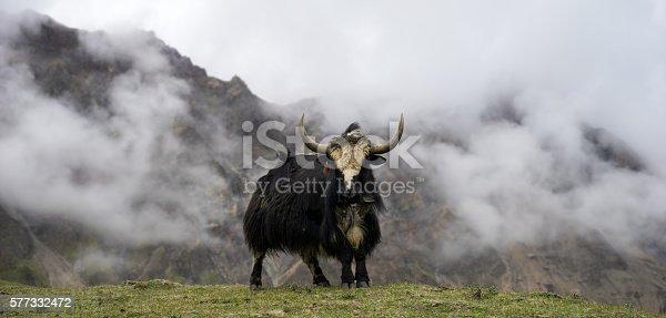 istock yak attack 577332472