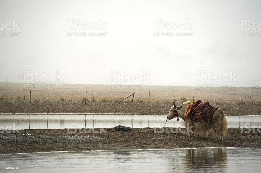 Yak beside lake royalty-free stock photo