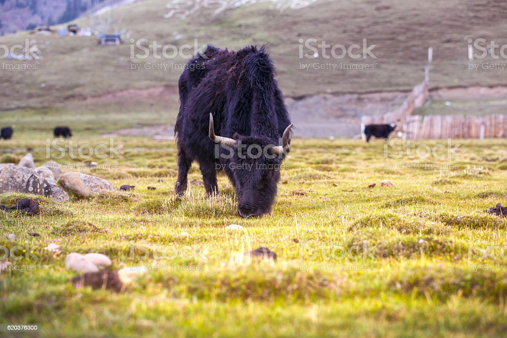 Yak eating green grass in Ladakh. foto de stock royalty-free