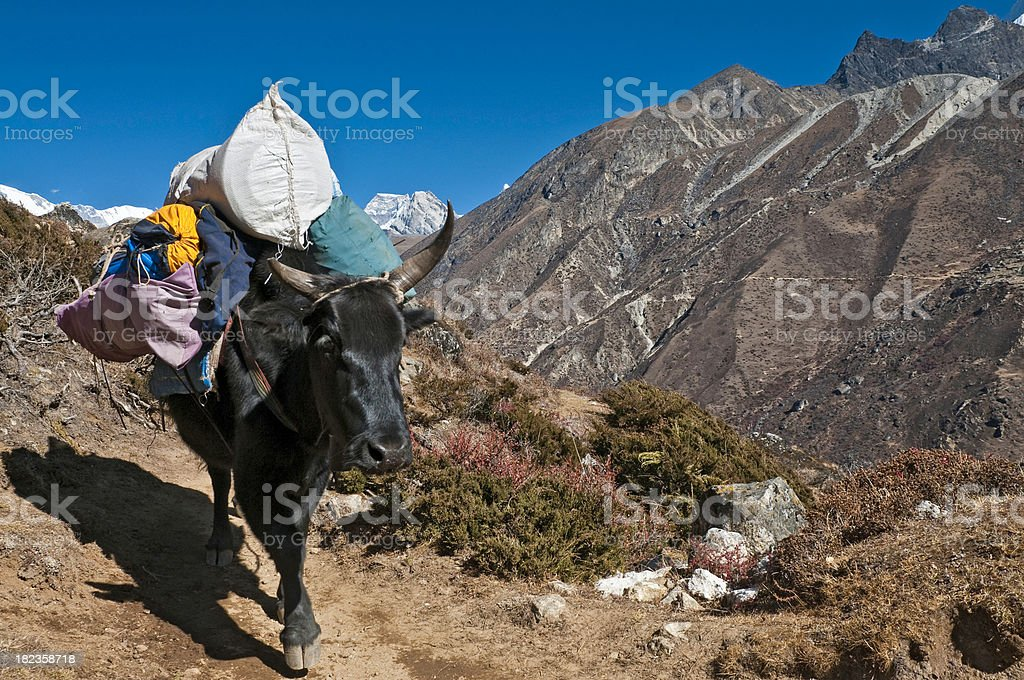 Yak expedition kit Himalaya mountain trail Mt Everest NP Nepal royalty-free stock photo