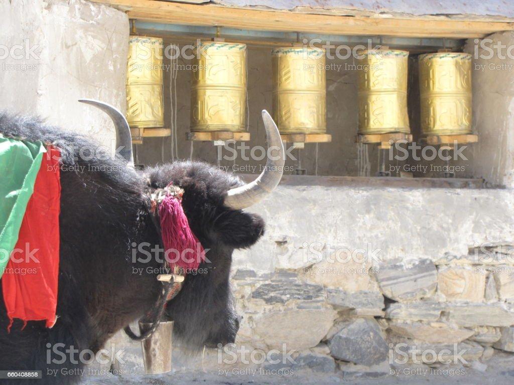 Yak gazing stock photo
