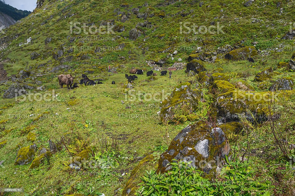 Yak graze herded by Brokpa nomads in rugged Himalayas, India. stock photo