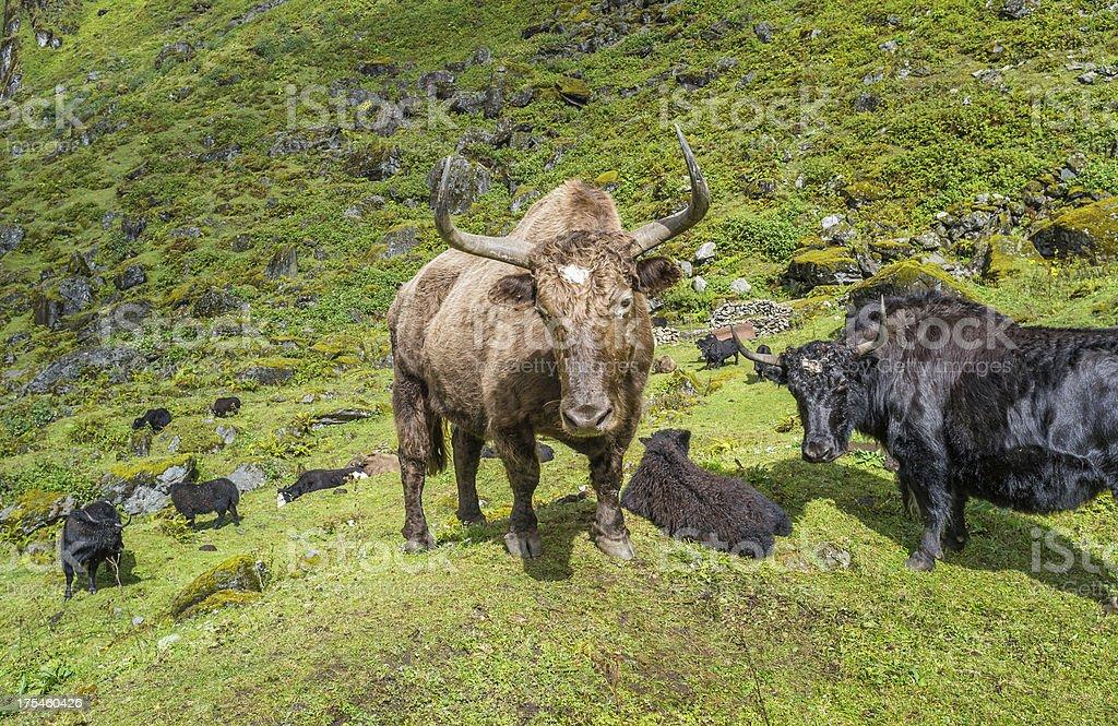 Yak graze on the high mountain slopes, Arunachal Pradesh, India. stock photo