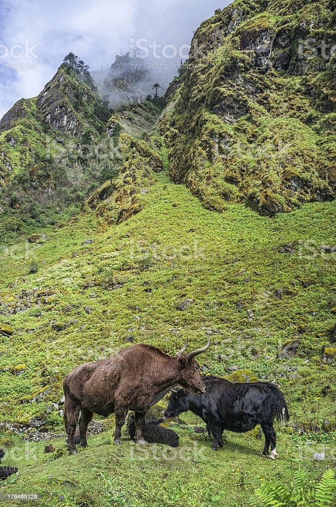 Yak grazing on the high mountain slopes, Arunachal Pradesh. stock photo