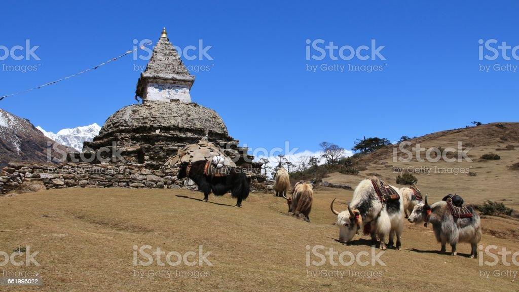 Yak herd and stupa stock photo