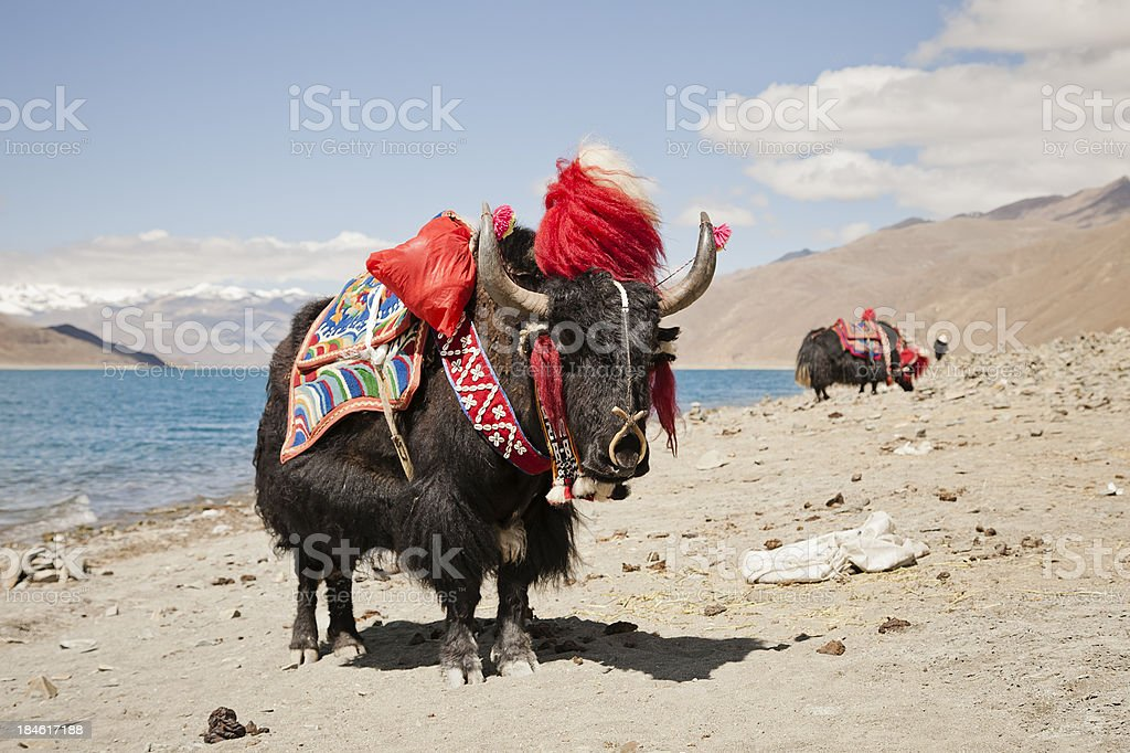 Yak in front of a lake, Tibet, China stock photo