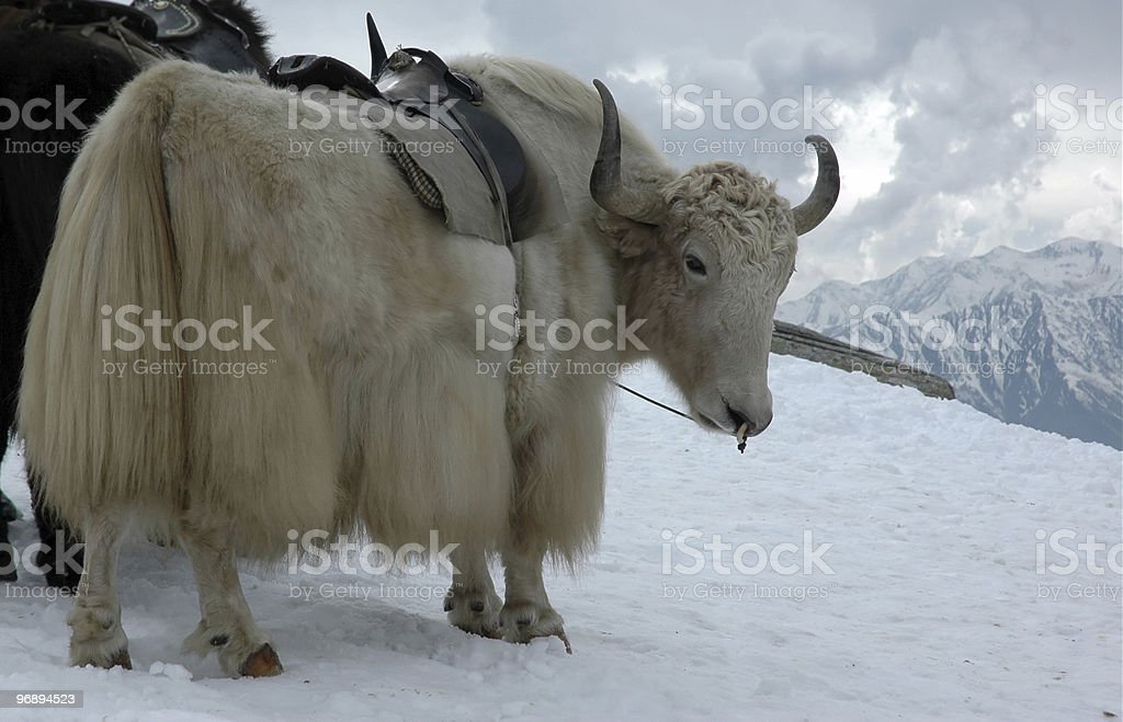 Yak in Himalayas royalty-free stock photo