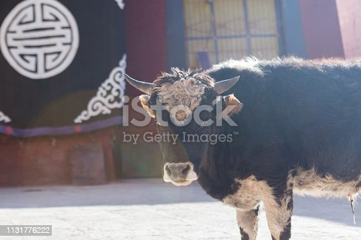 Yak in Lhasa Temple,looking at the camera
