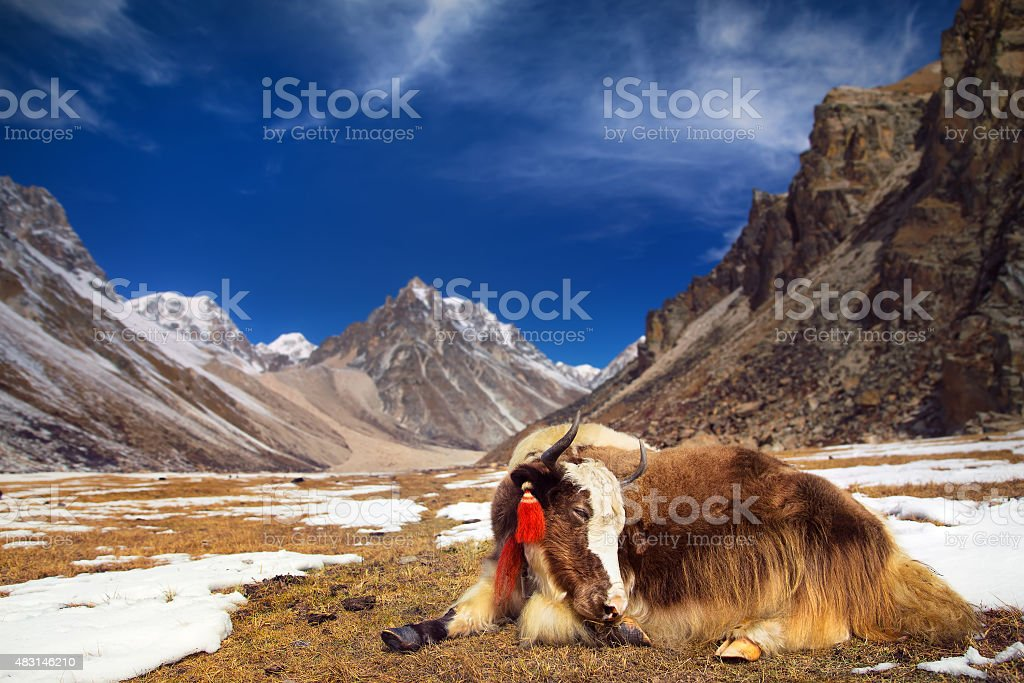 Yak in the mountains stock photo