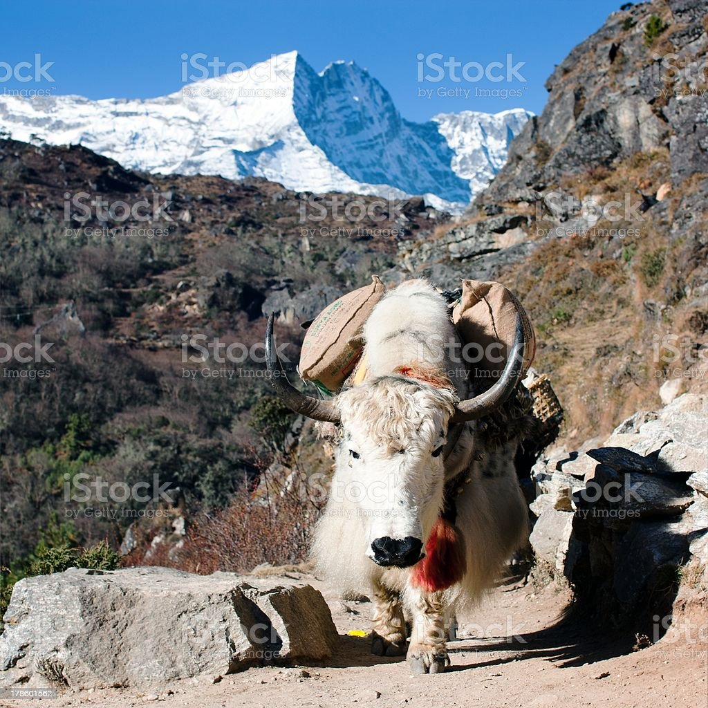 Yak in way to everest base camp - Nepal royalty-free stock photo