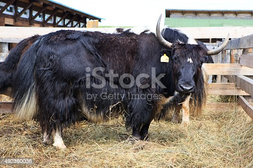Yak is a long haired bovid found throughout the Himalaya region of southern Central Asia