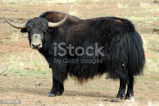 This long-haired wild or domesticated ox is originally from Tibet and Central Asia.This one lives on a farm in Alaska near Delta Junction.