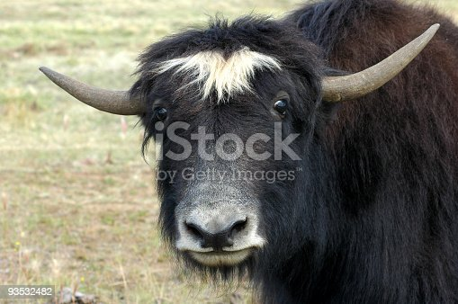 This long-haired wild or domesticated ox is originally from Tibet and Central Asia.This one lives on a farm near Delta Junction in Alaska.