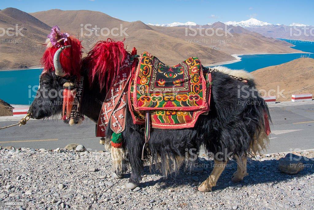 Yak, Native animal of Tibet, China stock photo