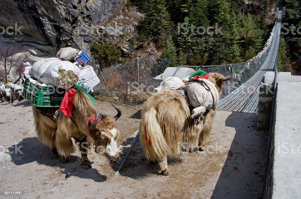 Yak on the bridge   in Nepal stock photo