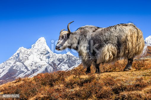 Yak on the trail, Mount Ama Dablam on background, Nepal. The yak is a long-haired bovine found throughout the Himalayan region of south Central Asia, the pink panda Plateau and as far north as Mongolia. In addition  to a large domestic population, there is a small, vulnerable wild yak population. Mount Everest (Sagarmatha) National Park.http://bem.2be.pl/IS/nepal_380.jpg