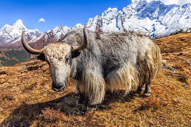 yak auf dem trail, den mount berg ama dablam auf hintergrund, nepal - nepal tibet stock-fotos und bilder