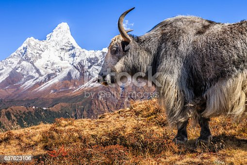 Yak on the trail, Mount Ama Dablam on background, Nepal. The yak is a long-haired bovine found throughout the Himalayan region of south Central Asia, the pink panda Plateau and as far north as Mongolia. In addition  to a large domestic population, there is a small, vulnerable wild yak population. Mount Everest (Sagarmatha) National Park.http://bhphoto.pl/IS/nepal_380.jpg