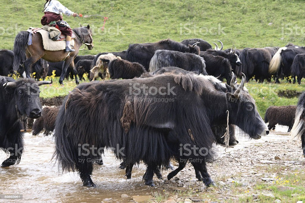 Yak royalty-free stock photo