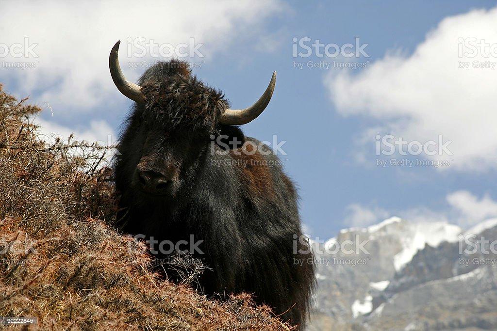 yak royalty-free stock photo
