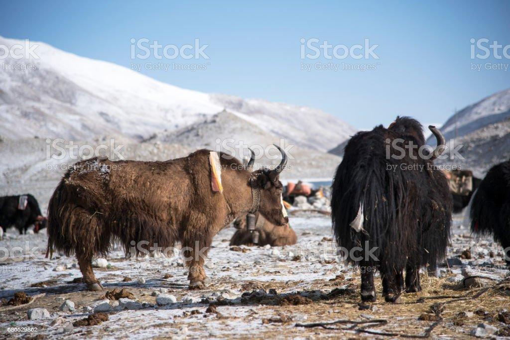 Yaks at the Everest Base Camp zbiór zdjęć royalty-free