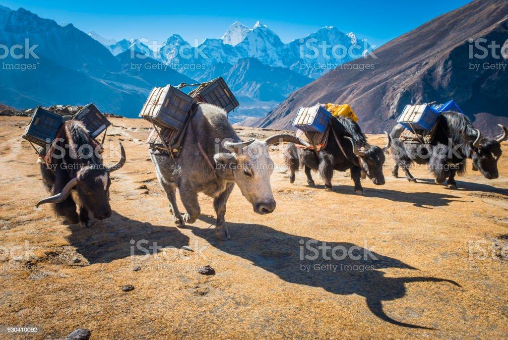 Yaks carrying supplies high on Himalaya mountain trail Khumbu Nepal stock photo