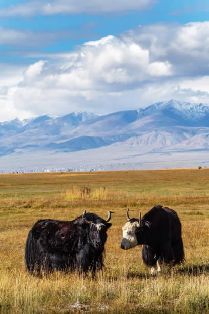 yaks graze in the autumn steppe - państwowy rezerwat przyrody altay zdjęcia i obrazy z banku zdjęć