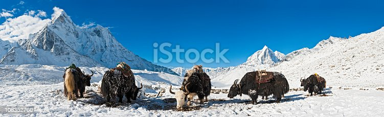 Hairy yaks with traditional load carrying saddles grouped in the crisp white winter wilderness of the Khumbu, Himalayas, Nepal, overlooked by the snow capped spire of Ama Dablam (6812m) and dramatic peaks and pinnacles of Taboche (6542m) under deep blue panoramic high altitude skies. ProPhoto RGB profile for maximum color fidelity and gamut.