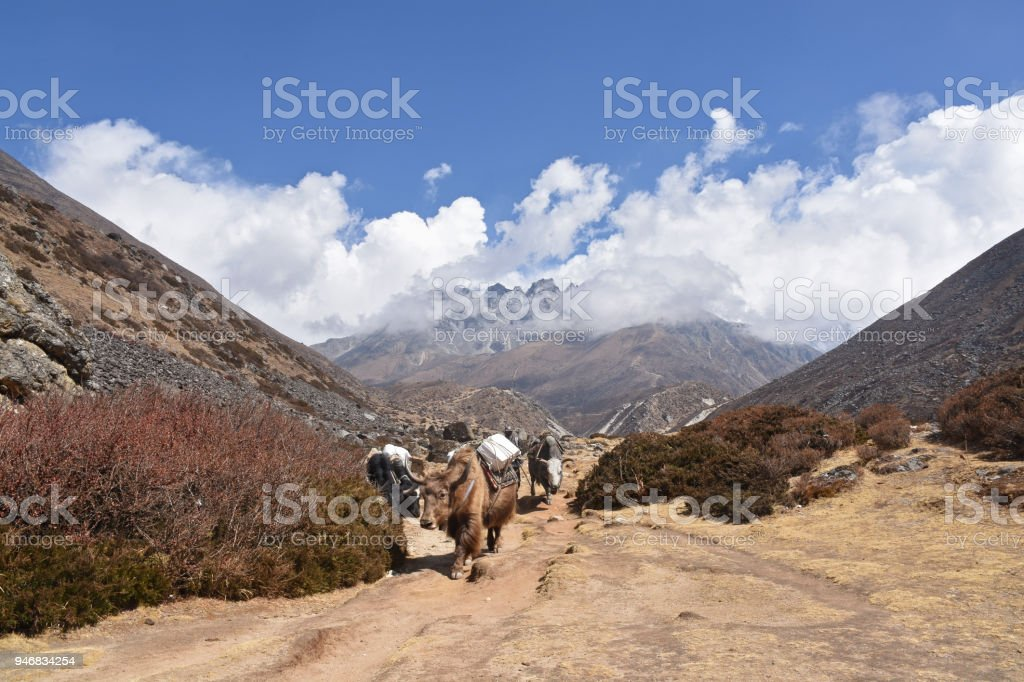 Yaks in the Himalayas stock photo