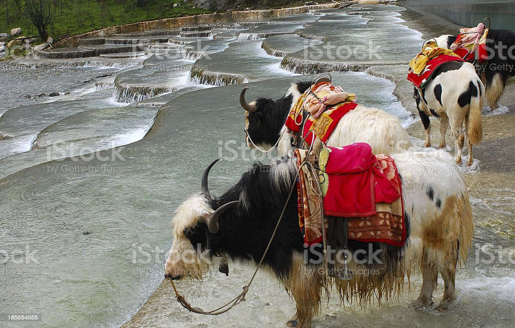 Yaks in Tibet royalty-free stock photo
