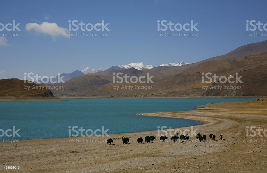 yaks in Tibet royalty-free stock photo