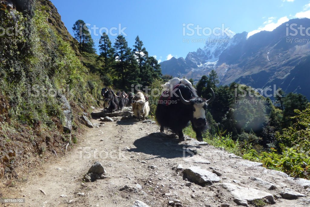 Yaks on the trail, Namche Bazaar, Everest Base Camp trek, Nepal stock photo