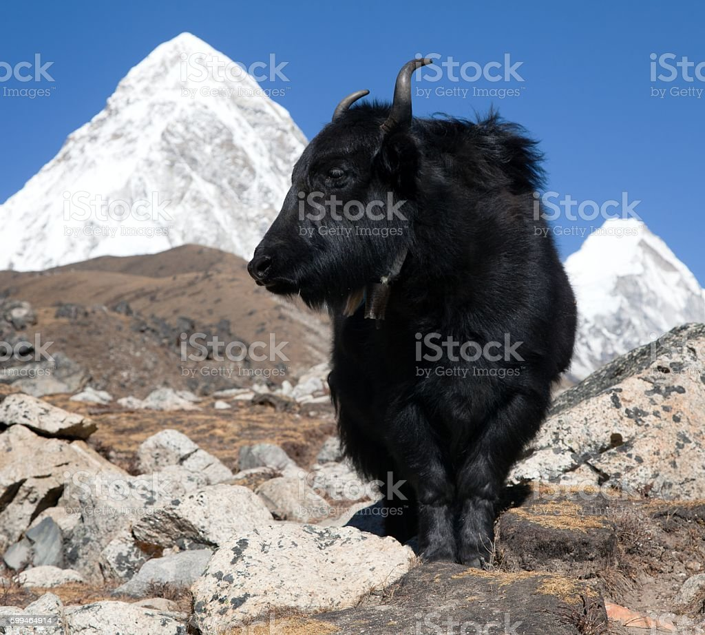 Yaks on the way to Everest base camp stock photo