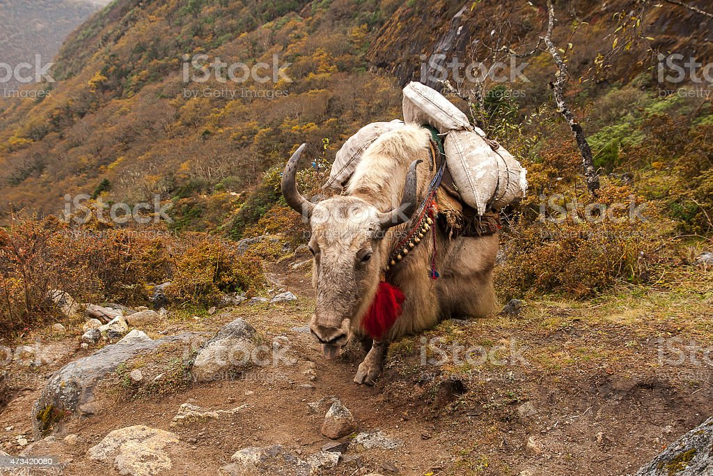 yaks stock photo